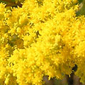 the Herb of Joy - another of natures depression-busters - it is near impossible to look upon Golden Rod when in flower and feel despondent, the tea and the tincture have a similar effect on the spirit when taken internally